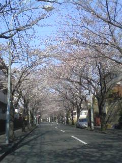 桜さくらサクラ!